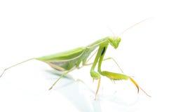 Female Praying Mantis, on white Royalty Free Stock Images