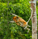 The female proboscis monkey with a baby of jumping from tree to tree in the jungle. Indonesia. The island of Borneo Kalimantan. Royalty Free Stock Photography