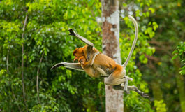 The female proboscis monkey with a baby of jumping from tree to tree in the jungle. Indonesia. The island of Borneo Kalimantan. Royalty Free Stock Images