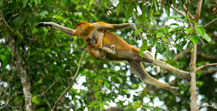 The female proboscis monkey with a baby of jumping from tree to tree in the jungle. Indonesia. The island of Borneo Kalimantan. Stock Photo