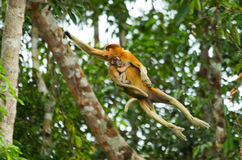 The female proboscis monkey with a baby of jumping from tree to tree in the jungle. Indonesia. The island of Borneo Kalimantan.  Stock Images