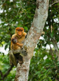 The female proboscis monkey with a baby sits on a tree in the jungle. Indonesia. The island of Borneo Kalimantan. Stock Image