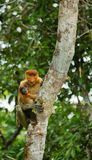 The female proboscis monkey with a baby sits on a tree in the jungle. Indonesia. The island of Borneo Kalimantan. Stock Photography