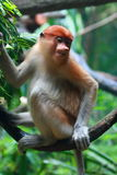 A Female Proboscis Monkey (Bekantan) Royalty Free Stock Photos