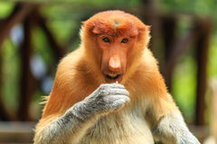 Female Proboscis Monkey feeding Stock Photo