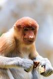 Female Proboscis Monkey feeding. On forest fruit stock images