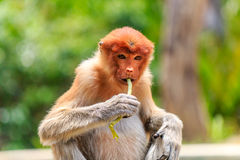 Female Proboscis Monkey feeding Royalty Free Stock Photography