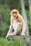 Female proboscis monkey. In Labuk Bay Proboscis Monkey Sanctuary Stock Image