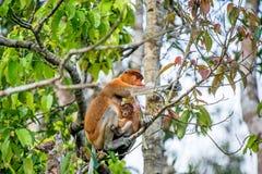 A female proboscis monkey Nasalis larvatus with a cub Royalty Free Stock Images