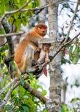 A female proboscis monkey Nasalis larvatus with a cub Stock Image