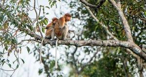 A female proboscis monkey Nasalis larvatus with a cub Royalty Free Stock Image