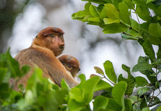 A female proboscis monkey (Nasalis larvatus) with a cub in a native habitat. Stock Photo