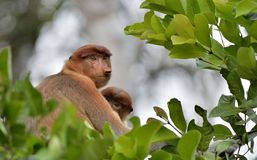 A female proboscis monkey Nasalis larvatus with a cub in a native habitat. Long-nosed monkey, known as the bekantan in Indonesia Stock Image