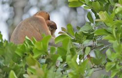 A female proboscis monkey Nasalis larvatus with a cub in a native habitat. Long-nosed monkey, known as the bekantan in Indonesia Stock Photo