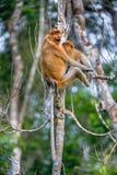 A female proboscis monkey Nasalis larvatus with a cub Stock Photos
