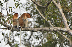 A female proboscis monkey Nasalis larvatus and cub on the tree in a natural habitat. Royalty Free Stock Photography