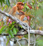 A female proboscis monkey Nasalis larvatus feeding a cub on th Stock Photos