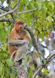 A female proboscis monkey Nasalis larvatus feeding a cub on the tree in a natural habitat. Royalty Free Stock Photography