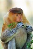 Female proboscis monkey Stock Photography