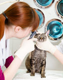 Female professional vet doctor examining pet cat eyes.  Royalty Free Stock Images