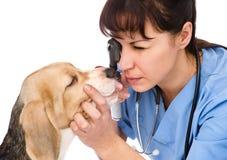Female professional vet doctor examining pet dog eyes Royalty Free Stock Photography