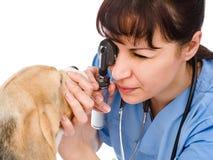 Female professional vet doctor examining pet dog eyes Royalty Free Stock Photo