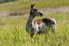 Female Pronghorn Royalty Free Stock Image