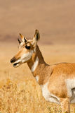 Female Pronghorn Stock Image