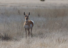 Female Pronghorn Antelope Royalty Free Stock Images