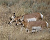 FEmale Pronghorn making their way through the tall grass. Pronghorn herd-mates up to their bellies in tall meadow grass Grand Teton National Park, Wyoming, USA royalty free stock images