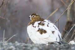 Female ptarmigan Stock Photography