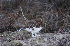 Female ptarmigan Stock Images