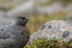 Female ptarmigan Lagopus muta during late august amidst the scree in the cairngorms national parl, scotland. royalty free stock images