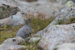Female ptarmigan Lagopus muta during late august amidst the scree in the cairngorms national parl, scotland. royalty free stock image