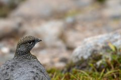 Female ptarmigan Lagopus muta during late august amidst the scree in the cairngorms national parl, scotland. royalty free stock photo