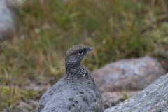 Female ptarmigan Lagopus muta during late august amidst the scree in the cairngorms national parl, scotland. stock images
