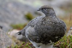 Female ptarmigan Lagopus muta during late august amidst the scree in the cairngorms national parl, scotland. stock photo