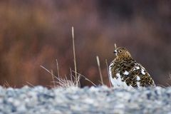 Female ptarmigan warming at the roadside. In early spring the side of the road is a beach for critters, so they gather there Royalty Free Stock Image