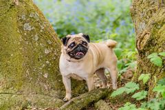 Female Pug At the Park Royalty Free Stock Image