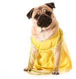 Female pug Stock Photography