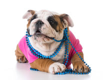 Female puppy Royalty Free Stock Image