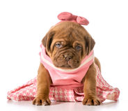 Female puppy Stock Photo