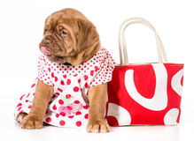 Female puppy Royalty Free Stock Images