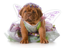Female puppy. Dogue de bordeaux puppy wearing princess dress  on white background - 5 weeks old Stock Images