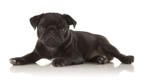 Female Puppy Pug. A 3 month old Puppy Pug laying down on a reflective surface Royalty Free Stock Image