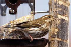 Female Purple finch Royalty Free Stock Image