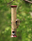 Female purple finch Stock Images