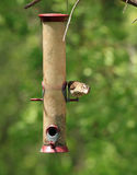 Female purple finch Stock Photos