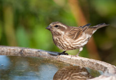 Female Purple Finch Stock Image