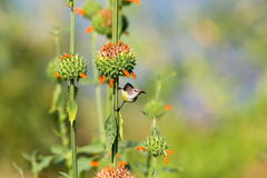 Female Purple Rumped sunbird. Stock Photos